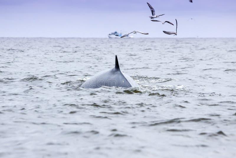 Baleine de Brydes photos libres de droits