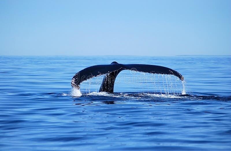 Baleine de Humback image libre de droits