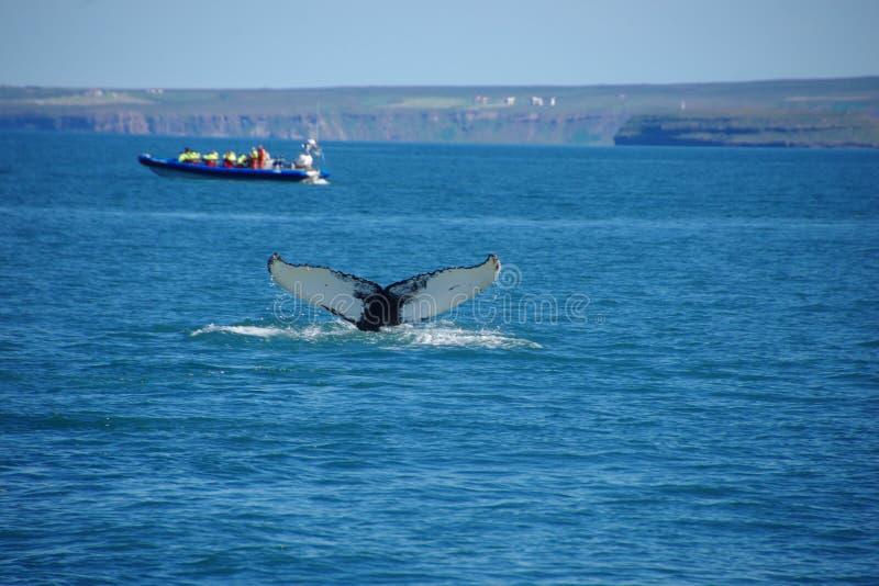 Baleine de whiteack d'aileron dorsal de bosse de baleine de l'Islande images libres de droits