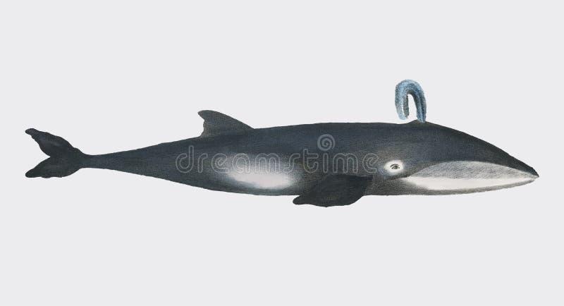 Baleine des photos d'histoire naturelle des mammifères 1824 par Heinrich Rudolf Schinz Digital augmentée par le rawpixel illustration stock