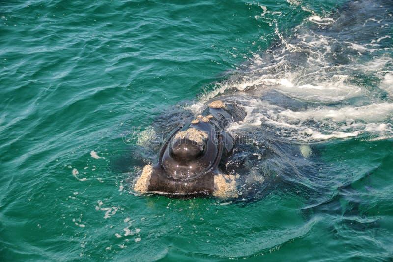 Baleine droite du sud juvénile photo libre de droits