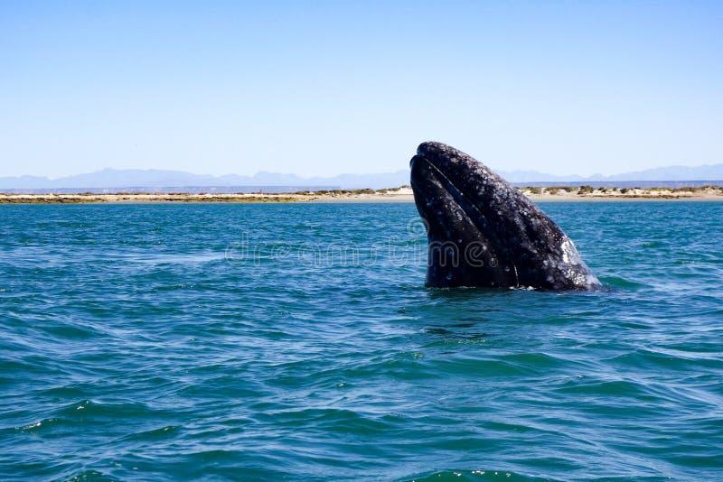 Baleine grise de la Californie dans Baja, Mexique image stock