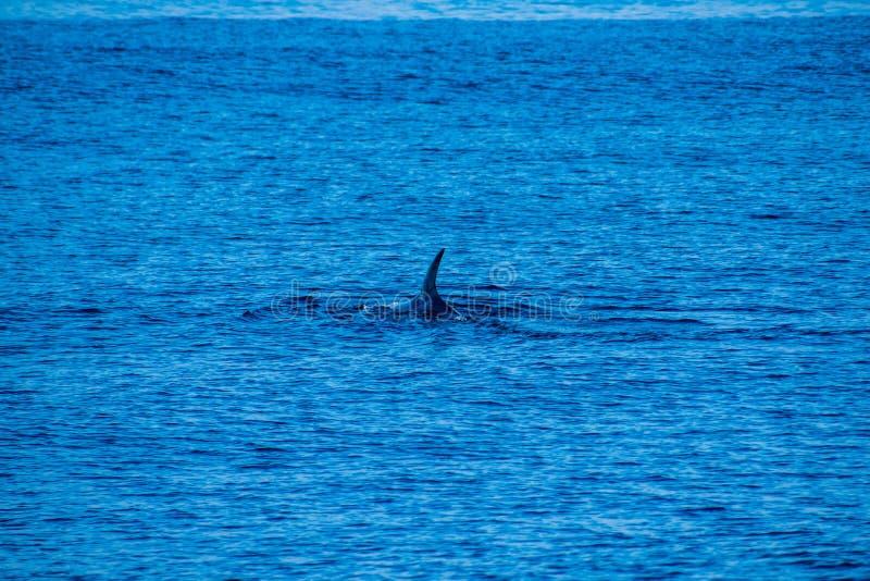 Baleine observant, Açores 2019, près de Ponta Delgada images libres de droits