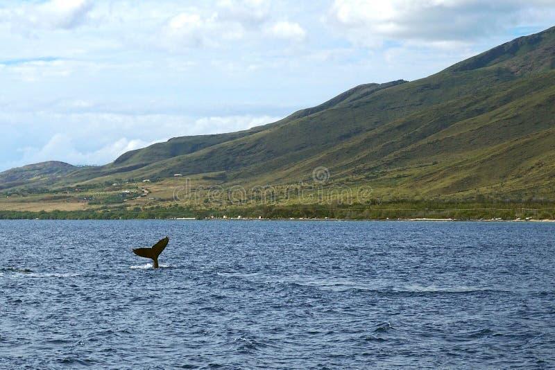 Baleine observant chez Maui image libre de droits