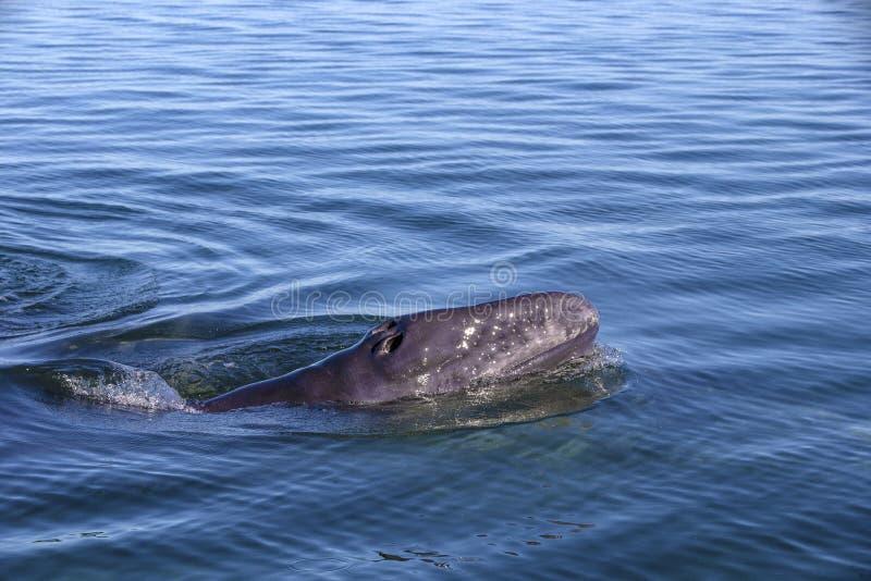 Baleine observant dans Baja photographie stock libre de droits