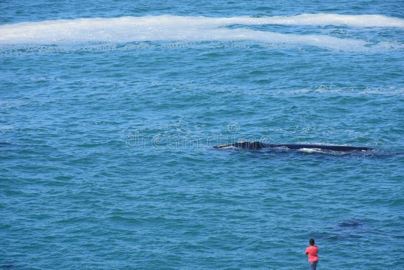 Baleine observant, Hermanus, le Cap-Occidental, Afrique du Sud photographie stock libre de droits