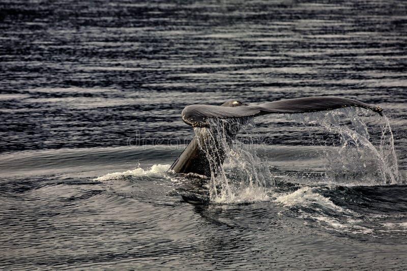 Baleine observant sur l'Islande photo stock