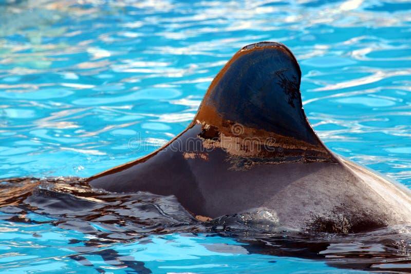 baleine pilote d'ailette images libres de droits