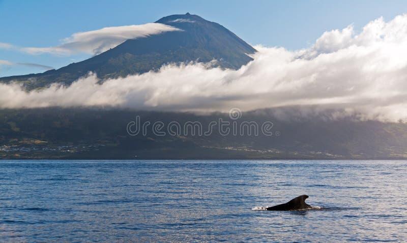 Baleine pilote de Pico image stock