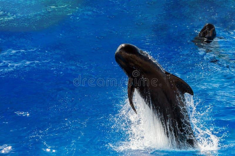 Baleine pilote sautant en dehors de la mer image libre de droits