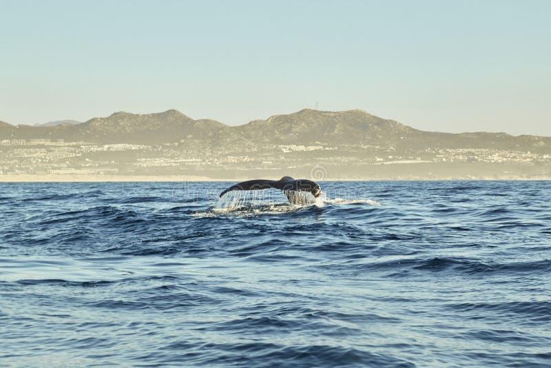 Baleines dans l'océan pacifique près de Cabo San Lucas image stock