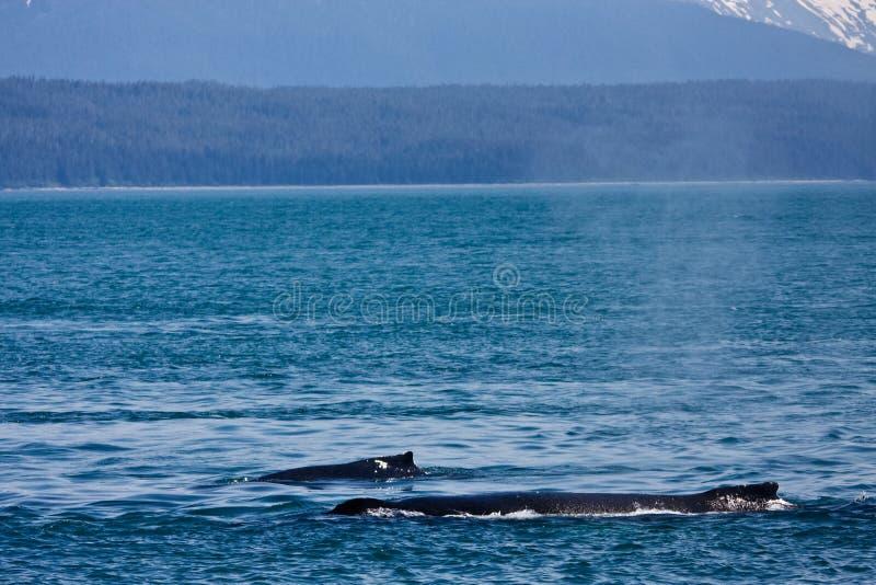 Baleines de bosse images libres de droits