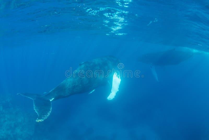 Baleines de bosse adultes près de la surface dans l'eau claire et ensoleillée images libres de droits