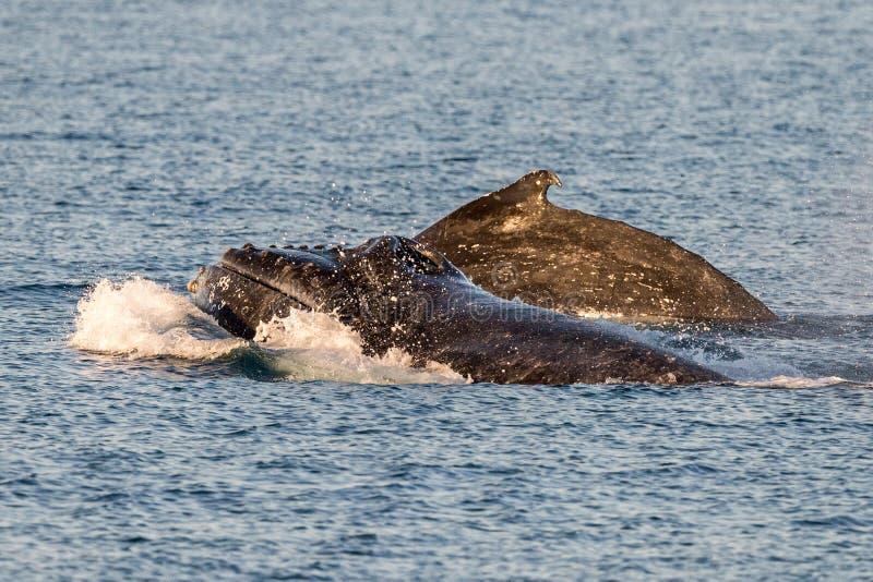 Baleines de bosse nageant dans l'Australie image stock
