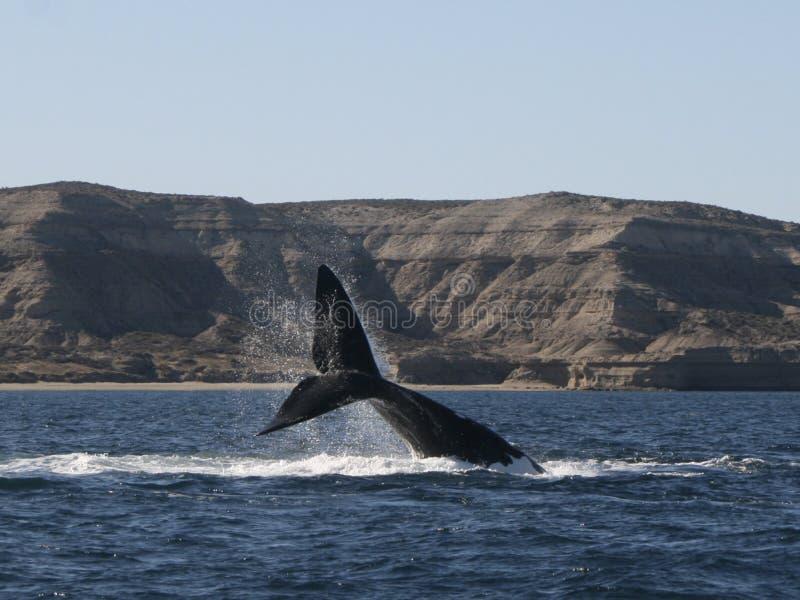 Balena australe - Patagonia Argentina immagine stock libera da diritti