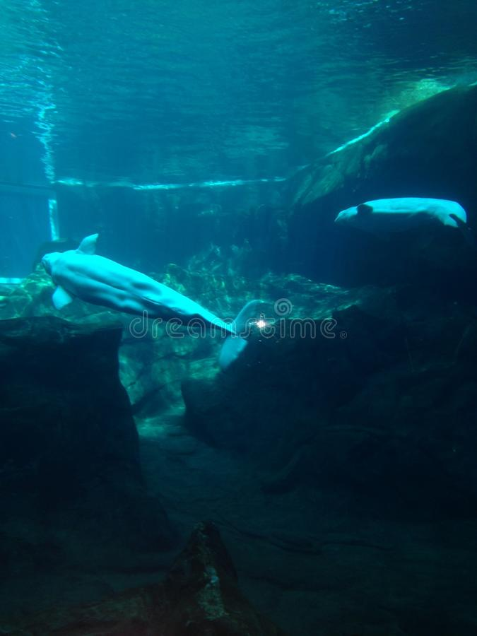 balena blu immagine stock