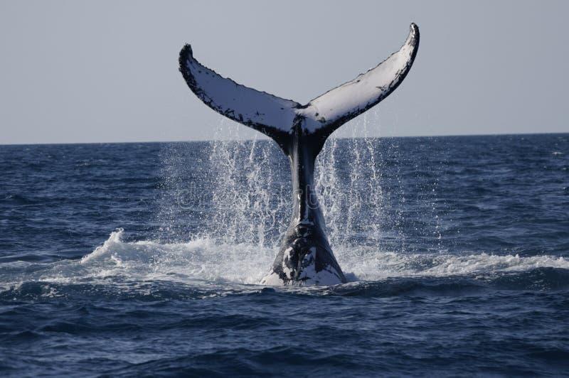 Balena che guarda il Queensland immagini stock libere da diritti