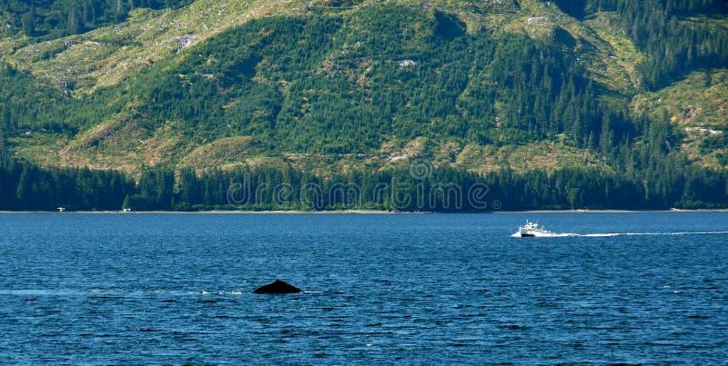 Balena che guarda l'Alaska immagini stock