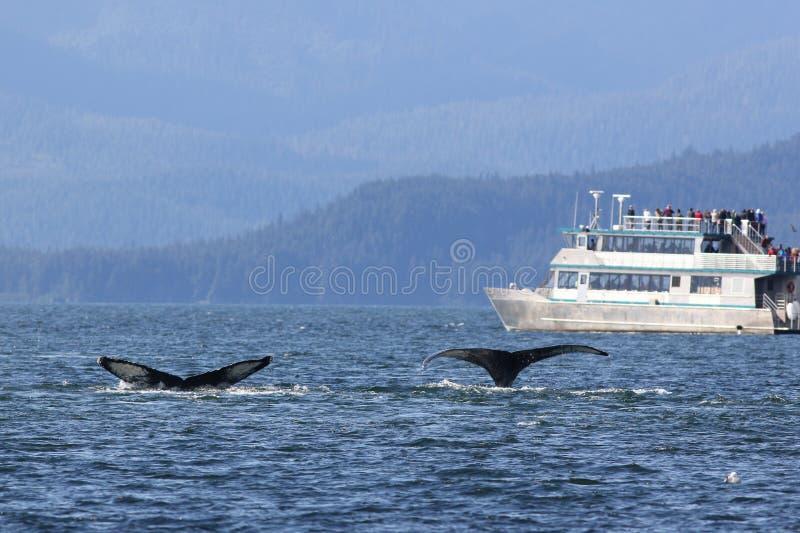 Balena che guarda nell'Alaska immagine stock