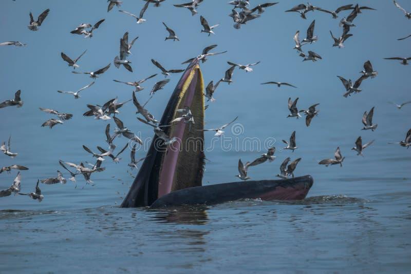 Balena del ` s di Bryde che si alimenta nel golfo del Siam immagini stock
