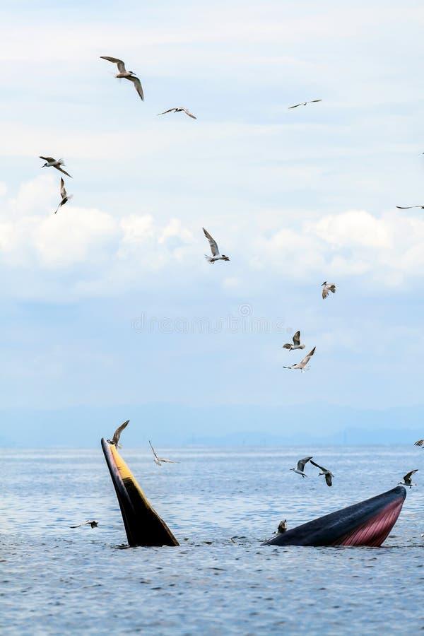 Balena del ` s di Bryde, balena del ` s dell'Eden, mangiante pesce al golfo del Siam fotografie stock libere da diritti