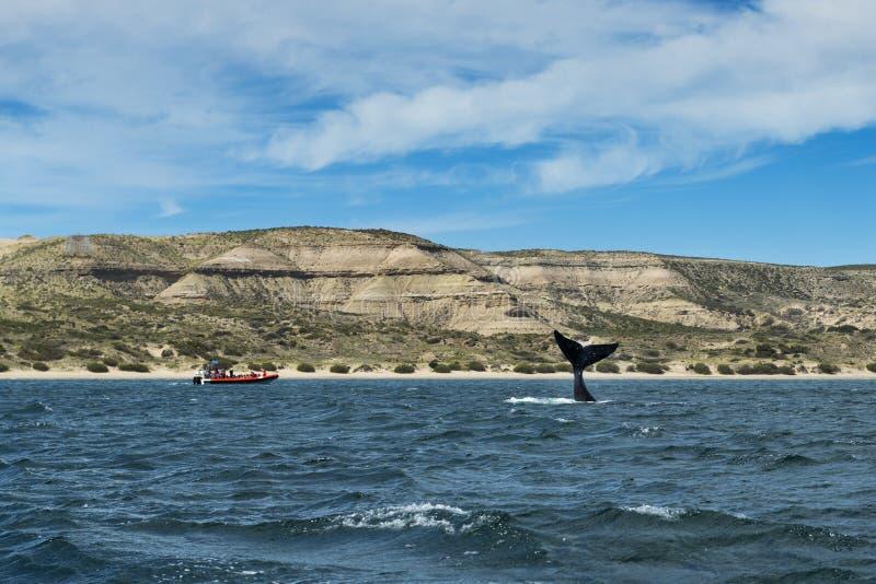 Balena del sud che lancia il suo racconto nella penisola di Valdes in Argentina fotografia stock libera da diritti