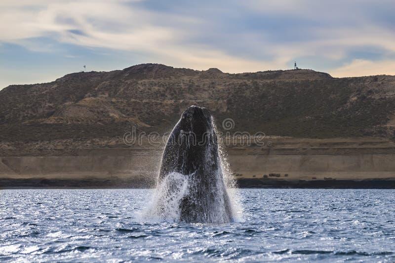Balena del sud, fotografie stock