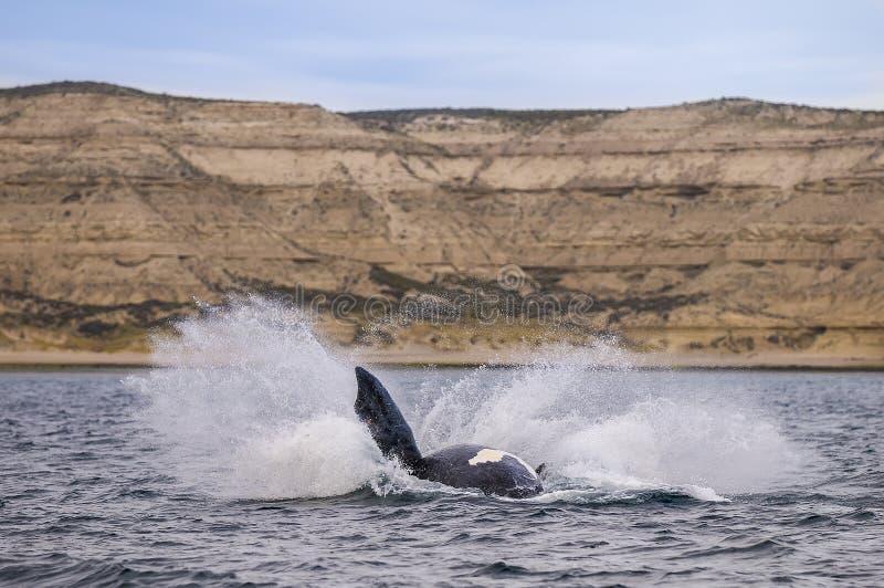 Balena del sud, immagini stock libere da diritti