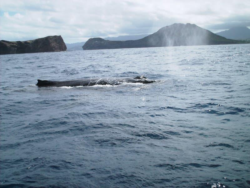 balena dell'Oahu del humpback fotografie stock libere da diritti
