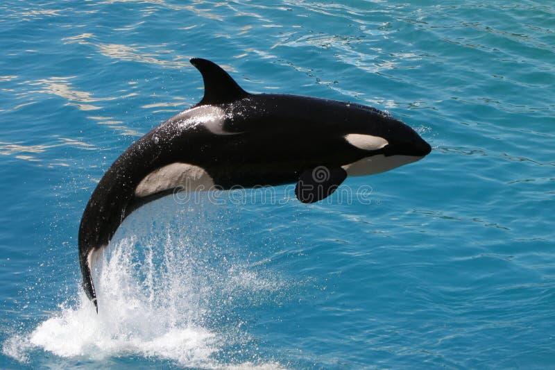 Balena di assassino #2 fotografia stock