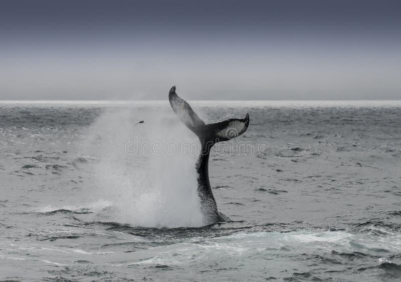 Balena di Humback immagini stock