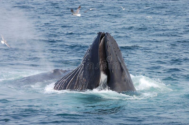 Balena di Humpback fotografie stock libere da diritti