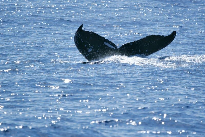 Balena di Humpback della coda fotografia stock