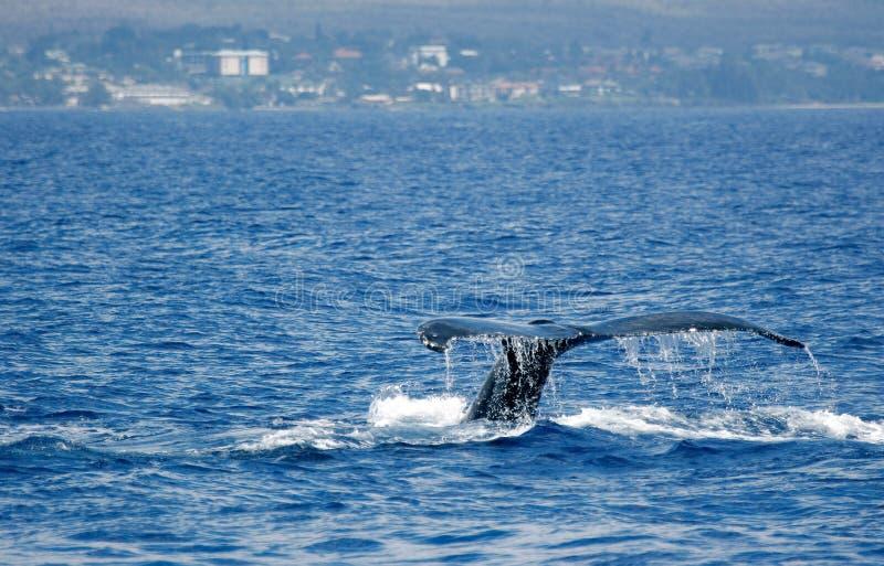 Balena di Humpback della coda con l'isola fotografia stock