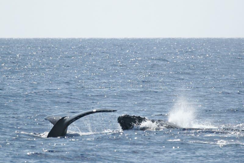 Balena di Humpback della testa e della coda fotografia stock