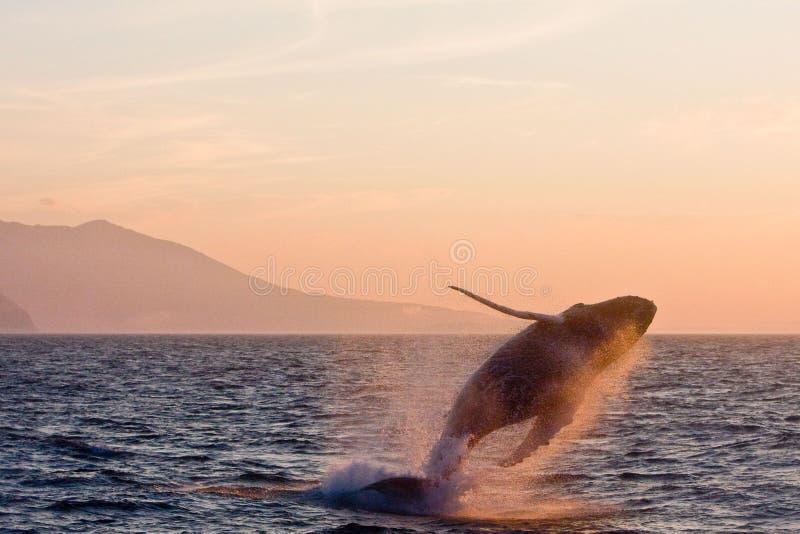 Balena di humpback di salto fotografia stock