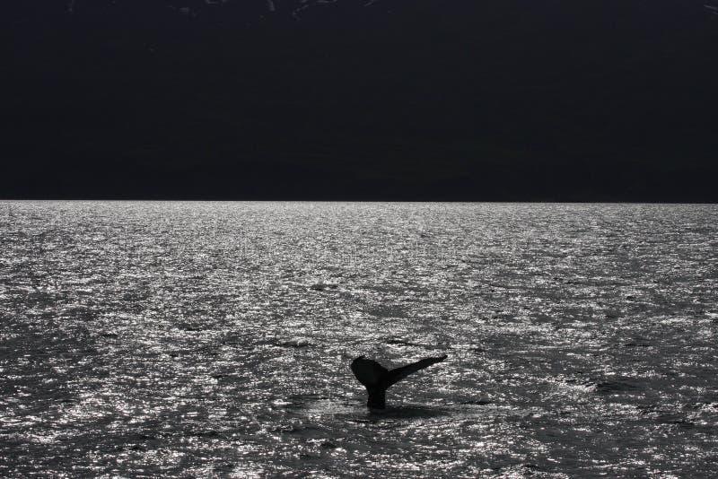 Balena di Humpback, Islanda, Oceano Atlantico fotografia stock