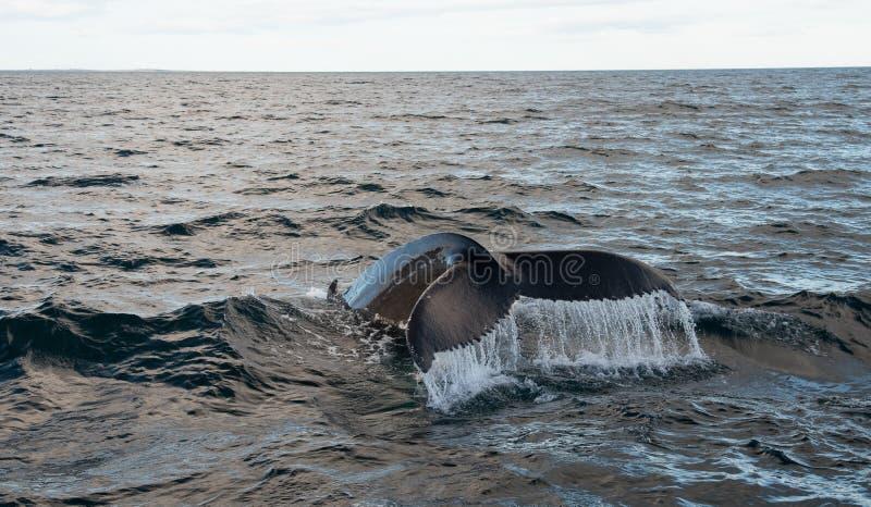 Balena di Humpback (novaeangliae del Megaptera) fotografia stock