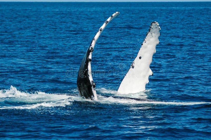 Balena di Humpback (novaeangliae) del Megaptera, Australia fotografie stock