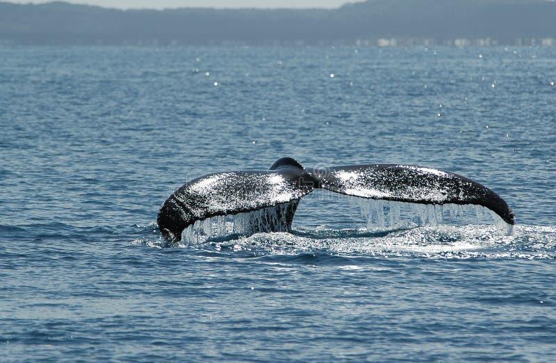Balena di Humpback (novaeangliae) del Megaptera, Australia immagini stock