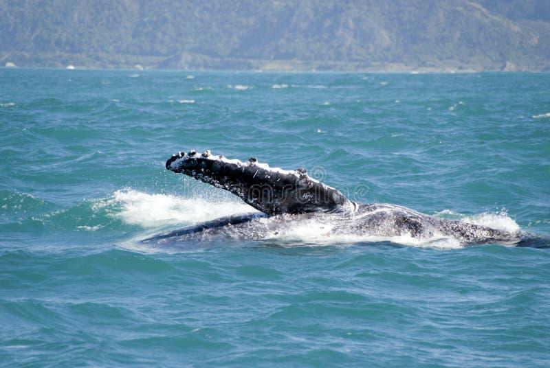 Balena di humpback voluminosa che mostra la sua aletta immagini stock