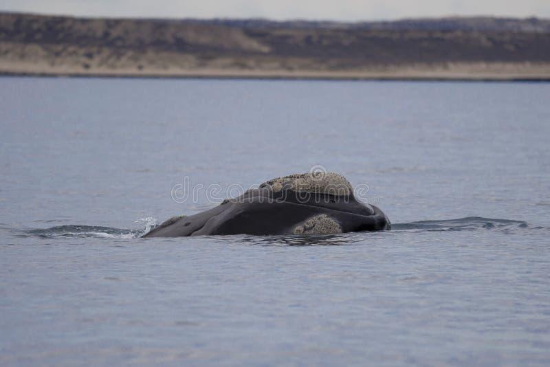 Balena giusta del sud fotografia stock
