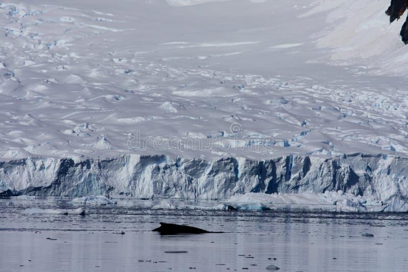 Balena nel porto di paradiso, Antartide fotografia stock