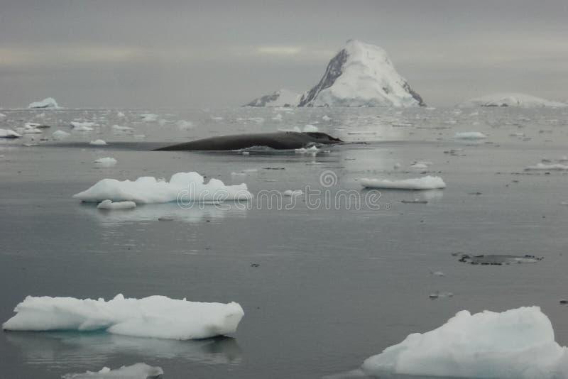 balena nelle acque dell'ANTARTIDE immagine stock