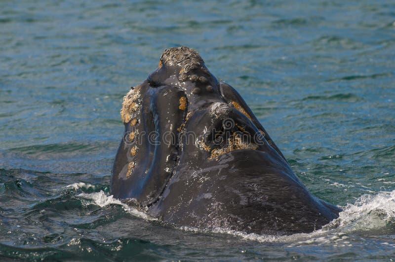 Balena, Patagonia, Argentina fotografie stock libere da diritti