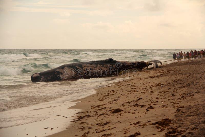 Balena tirata fotografia stock libera da diritti