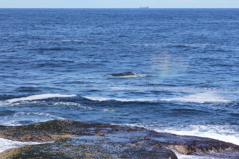 Balena vicino al litorale fotografia stock libera da diritti