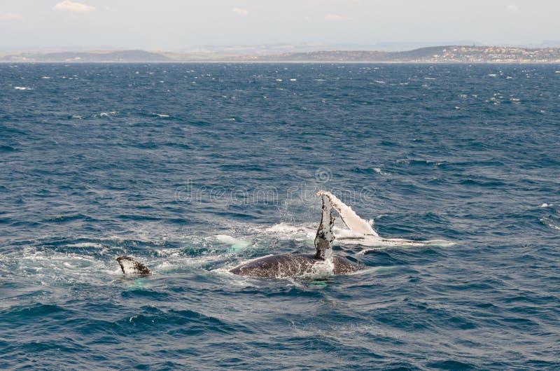 Download Balene immagine stock. Immagine di terra, oceano, spruzzo - 55350117
