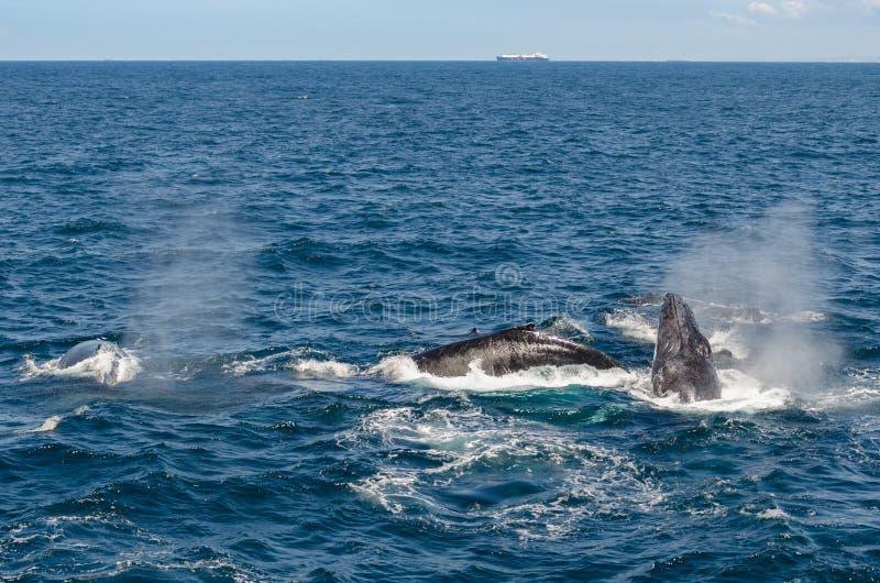 Download Balene immagine stock. Immagine di skyline, cetacean - 55350135
