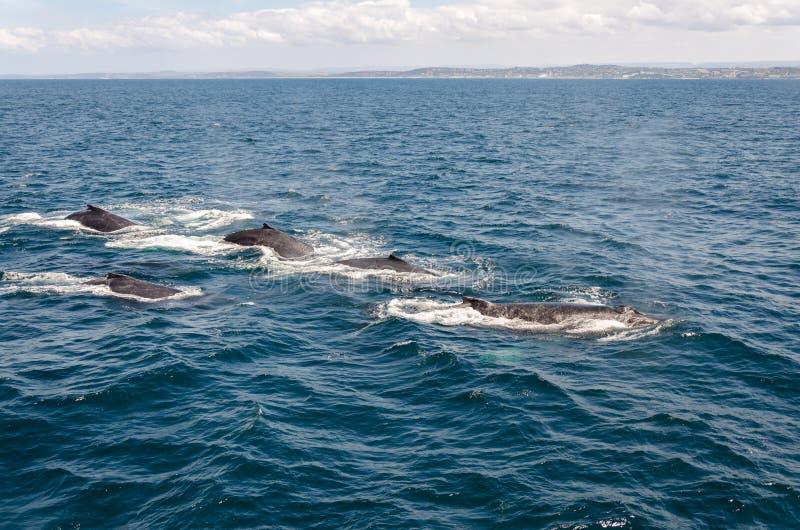 Download Balene immagine stock. Immagine di acqua, oceano, mare - 55350149